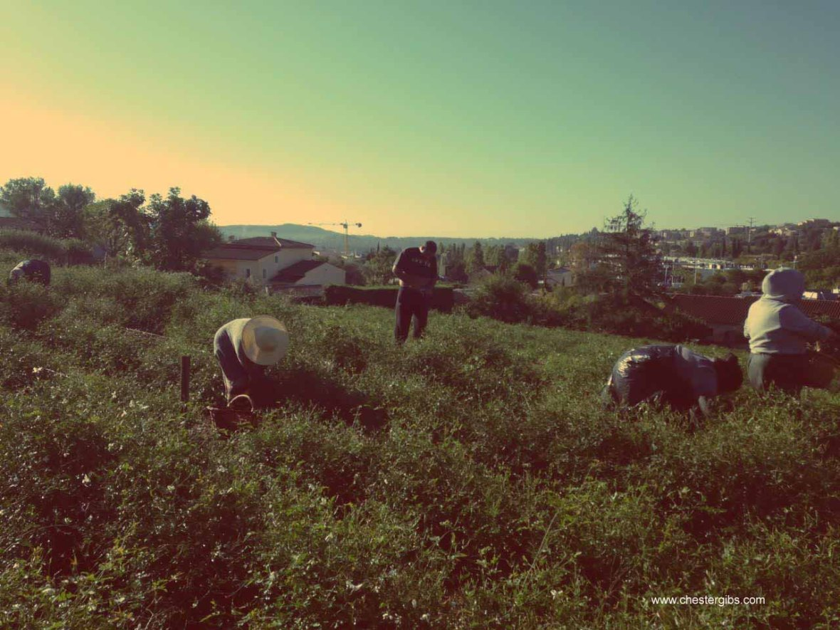 picking jasmine in grasse-1 copy.jpg